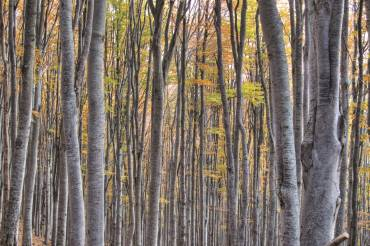 The Beech forests